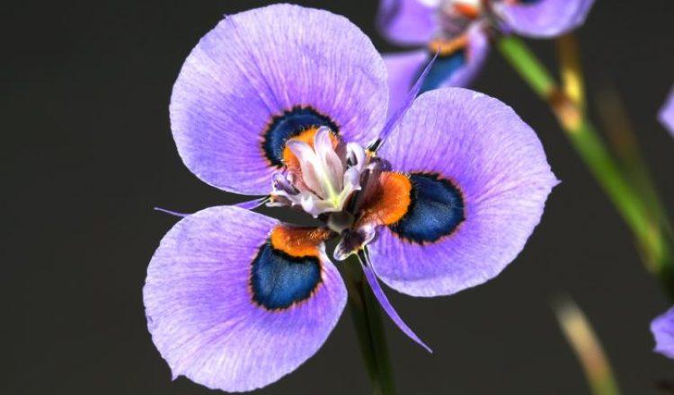 Moraea villosa b8