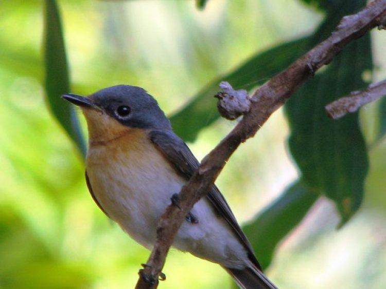Leaden Flycatcher 4 - female
