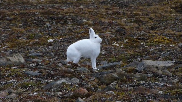 The arctic hare12