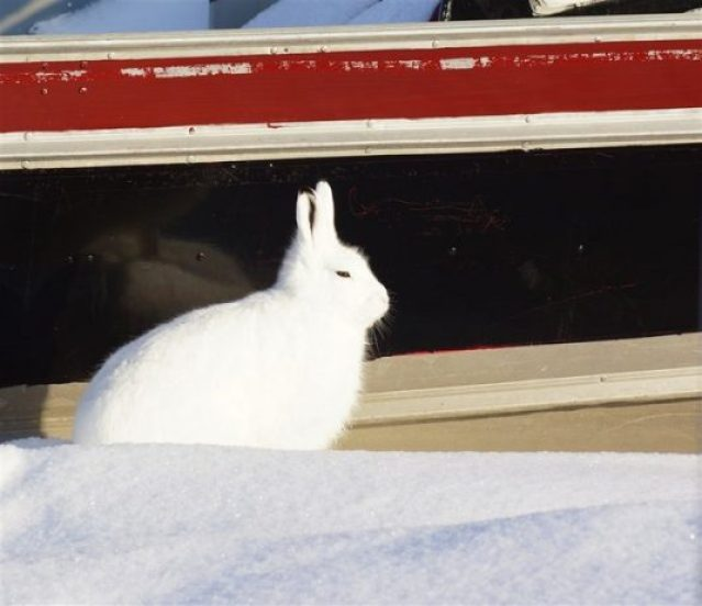 The arctic hare14