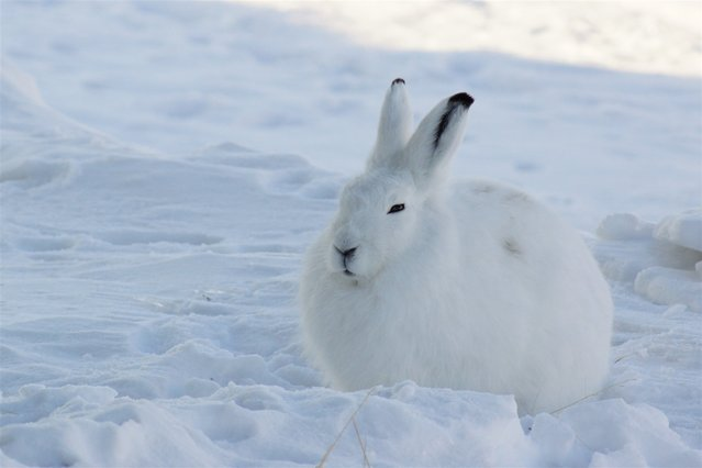The arctic hare23