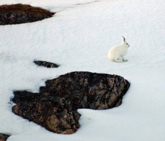 The arctic hare5