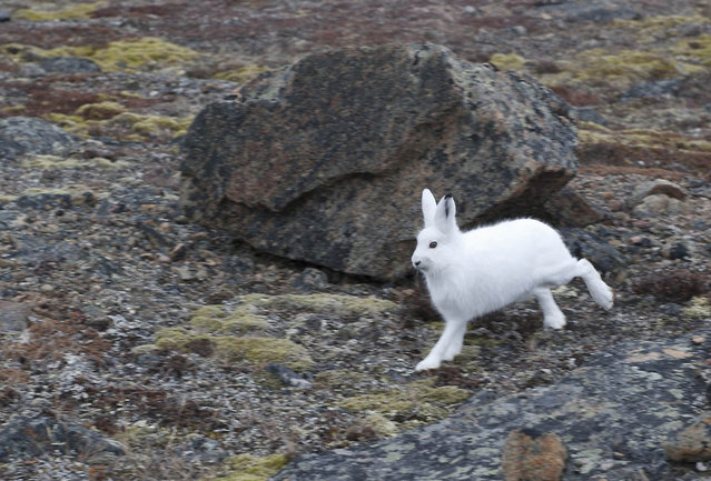 The arctic hare9