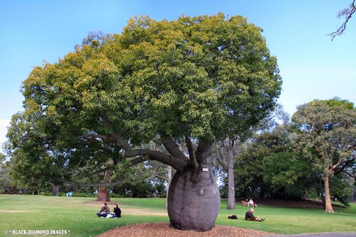 Bottle Tree of Queensland Brachychiton Rupestris