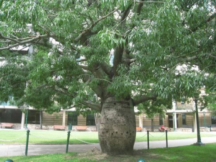 Bottle Tree of Queensland Brachychiton Rupestris3