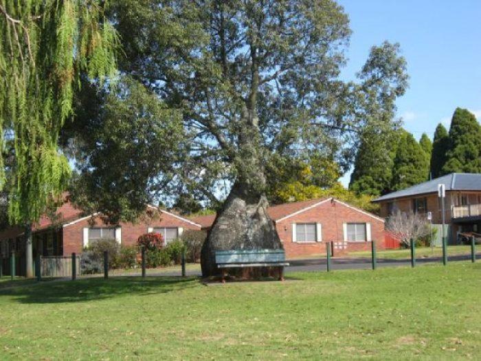 Bottle Tree of Queensland Brachychiton Rupestris4