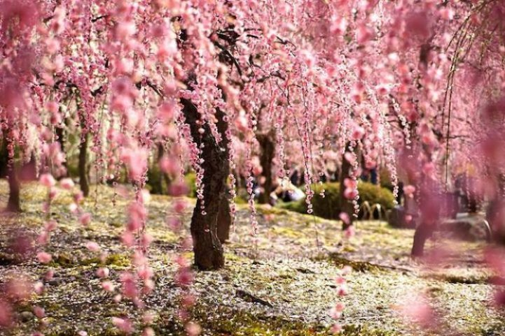 Cherry Blossoms is a cultural symbol of Japan3