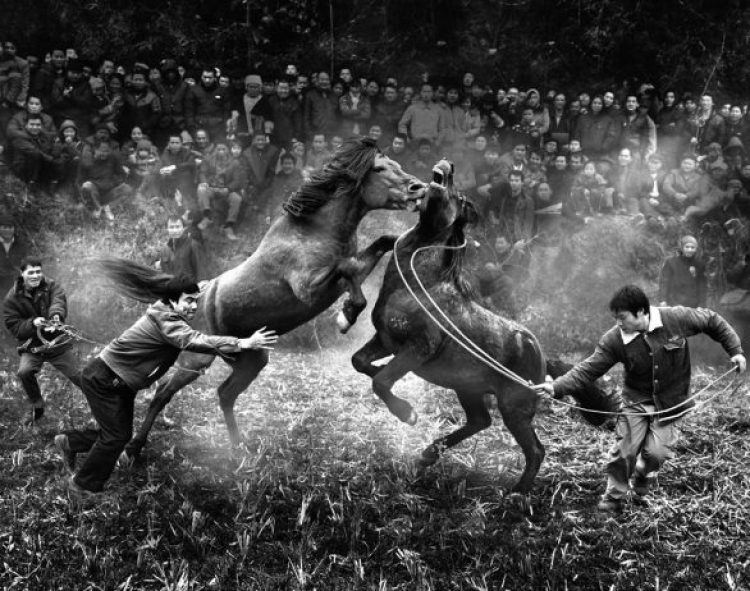 Horse Fighting in China10