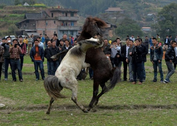 Horse Fighting in China4