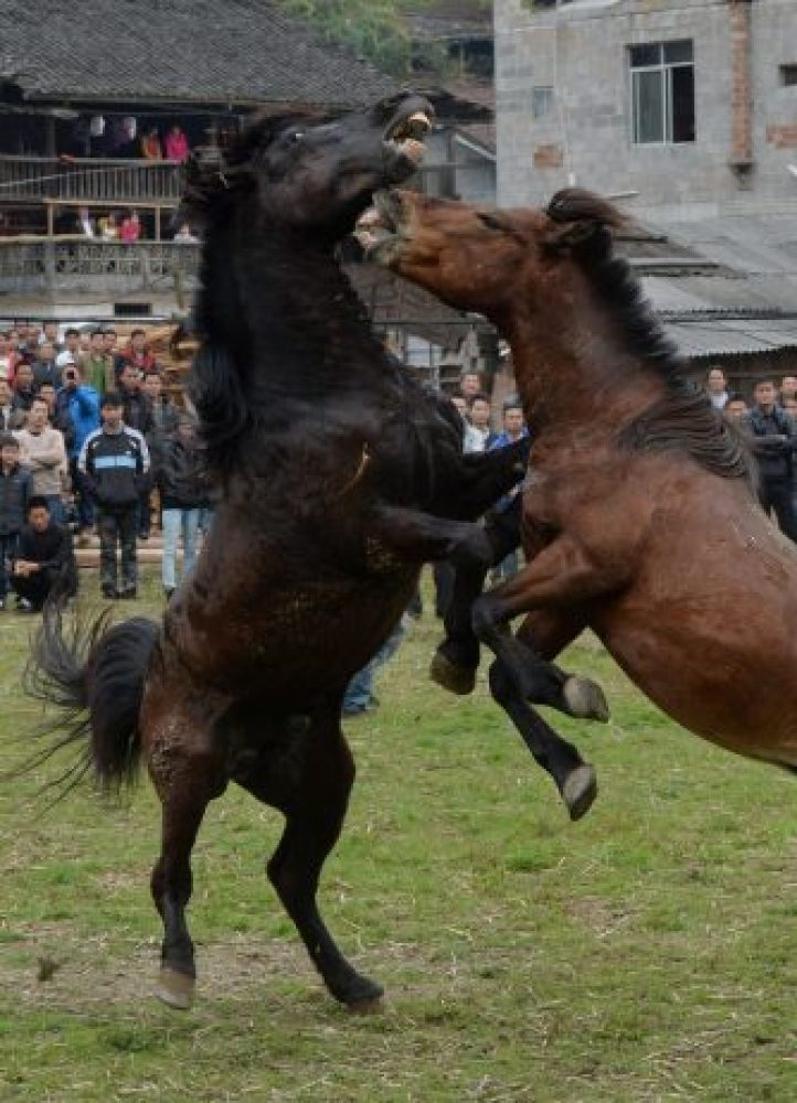 Horse Fighting in China7
