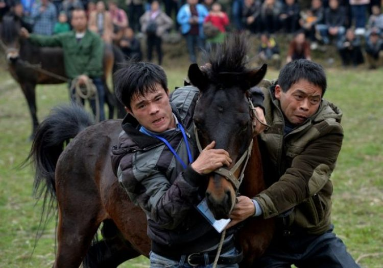 Horse Fighting in China9