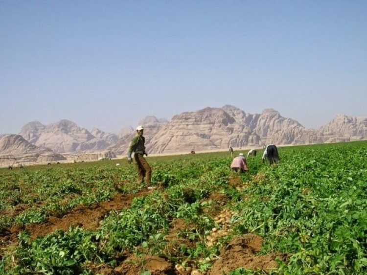 Organic Farming in the Desert of Wadi Rum5