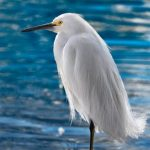Gorgeous Photography of Snowy Egret