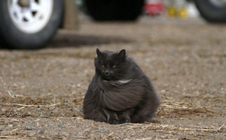 Sygmond The Grey Majestic Cat3