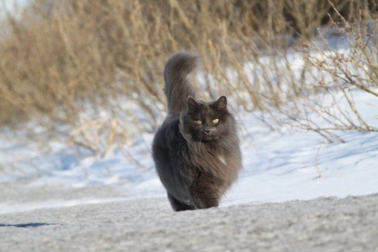 Sygmond The Grey Majestic Cat5