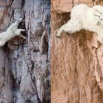 Incredible Goat Climbers
