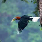 "Most Beautiful Bird of South Asia ""Rufous-Necked Hornbill"""