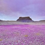 Magnificent Rare Wildflower Blooms in the Deserts of Colorado Plateau