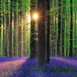 The Mystical Blue Forest of Beligum All Carpeted With Blue Bell Flowers
