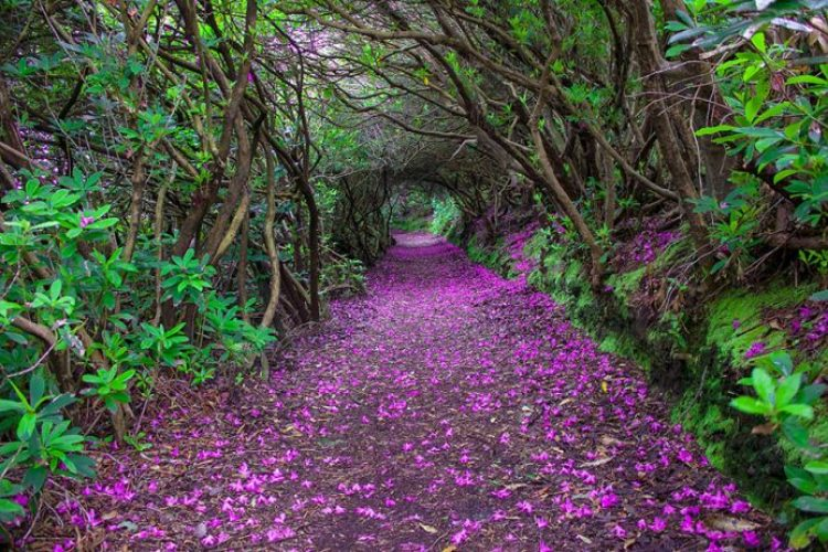 Rhododendron Tunnel in Reenagross Park, Kenmare Ireland