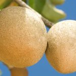 Amazing Health Benefits Of Sapota Fruits