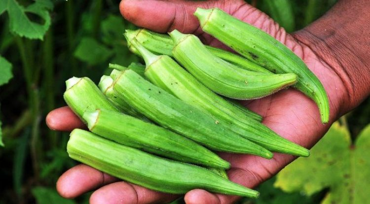 Planting, Growing, and Harvesting Okra Plants