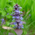 Ajuga Reptans; A Fast Spreading Plant Can Grow in any Good Decent Garden