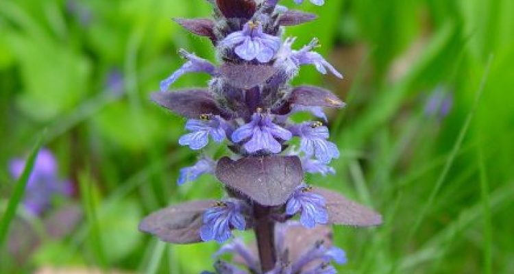 "This fast spreading plant, sometimes called ""Bugle"", has much to recommend it"