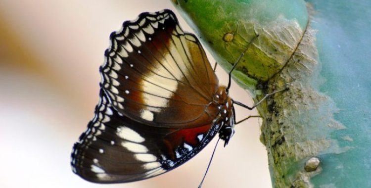 Butterflies and moths can be both pets and instrumental in the control of pests