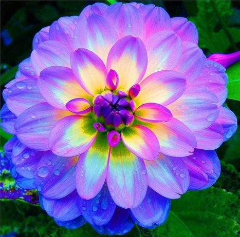 Dahlia is one of Plant with Endless Flower Classification
