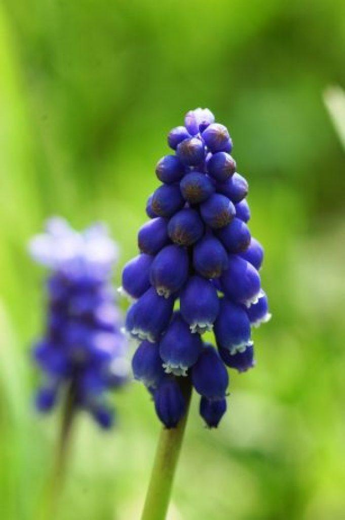 "Grape Hyacinth or ""Muscari"" Flower"