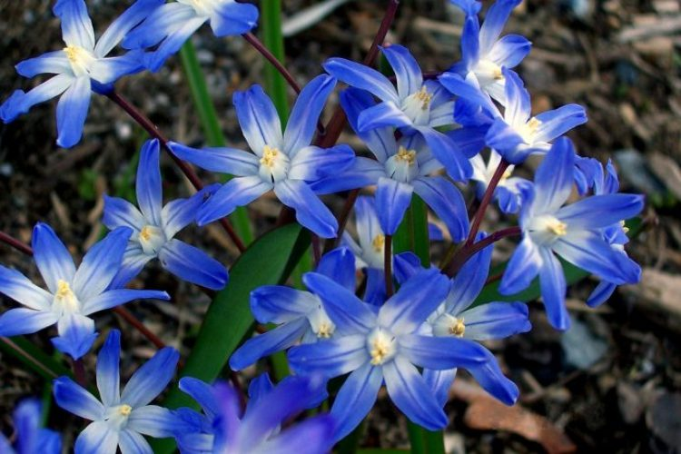 A Bright Blue Star Shaped Flower