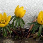 """Winter Aconite """"Eranthis Hyemalis"""" Flower"""