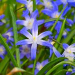 """Glory of the Snow"", A Bright Blue Star Shaped Flower"