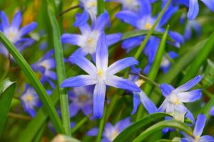 These delightful bulbs have little bright blue, star shaped flowers and grass like leaves