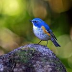 Gorgeous Himalayan Bluetail Bird