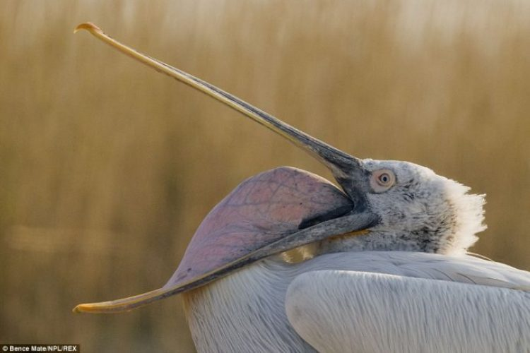 A Dalmatian pelican shows the amazing size of its bill and pouch in the Danube Delta, Romania