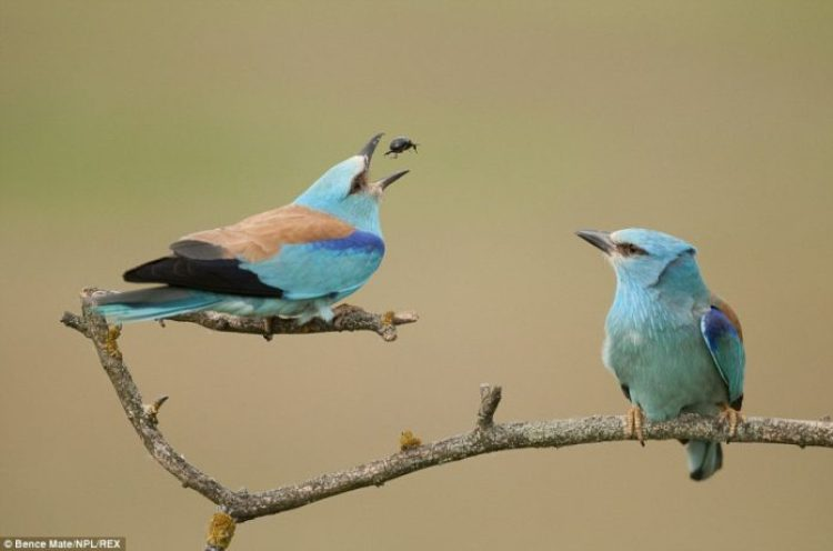 A male European roller bird (left) attempts to impress a potential mate with his food-catching skills, Hungary