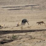 Brave Buffalo Takes on Three Hungry Lions to Rescue Young Calf After it is Snatched from the Herd.