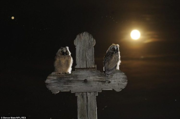 Two long-eared owls perch on a wooden cross during a moonlit night in Puszatszer, Hungary