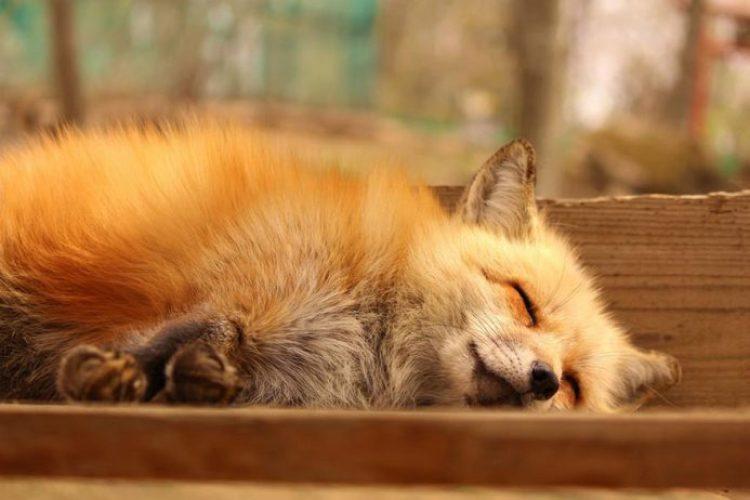 zao-fox-village-japan-29