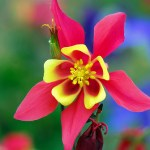 Columbine or Aquilegia Flowers