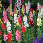 Snapdragon or Antirrhinum Majus