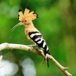 "The ""Hoopoe"" is Distinctive Crown Feathers Bird"
