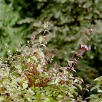 Oregano is a Common Species of Origanum, a Genus of the Mint Family