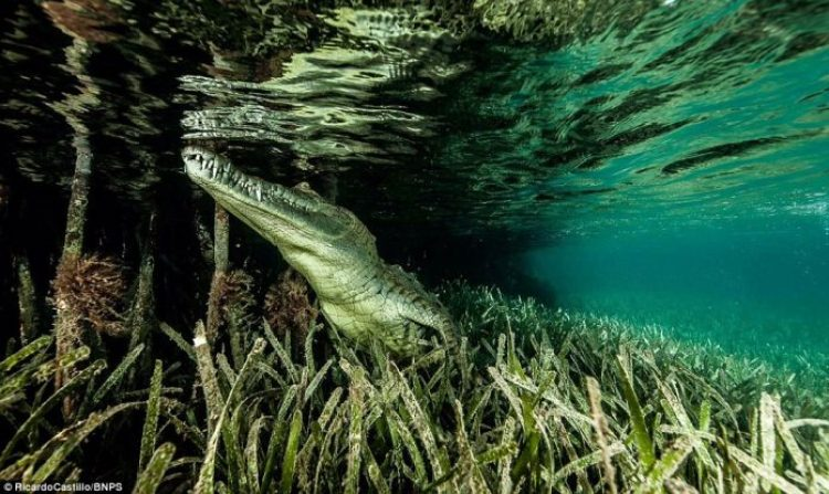A crocodile partially hidden in underwater plant life keeps a beady eye on Ricardo