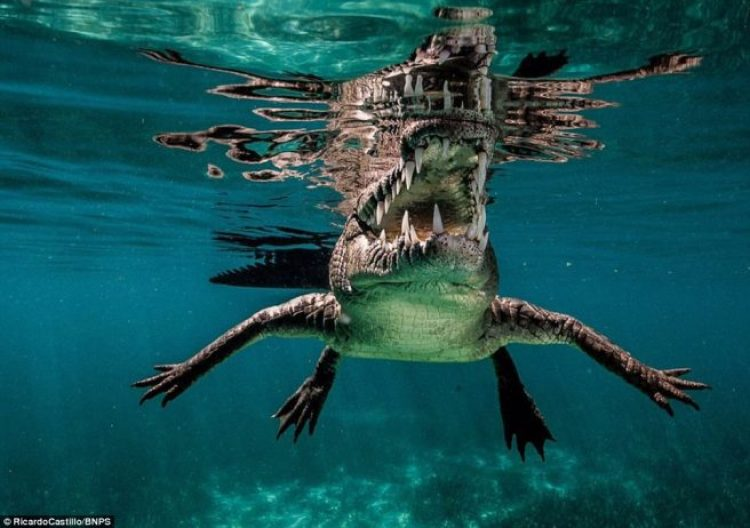 Snorkeller and photographer Ricardo Castillo captured incredible underwater images of crocodiles off the coast of Cuba