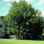 Linden is Tall, Fast Growing Shade Tree
