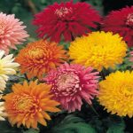 Chrysanthemum is a Flowering Plant Comes in Several Shapes