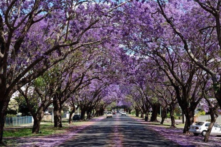 Jacarandas Walk, Pretoria, South Africa